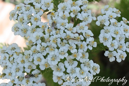 Yarrow and Critters