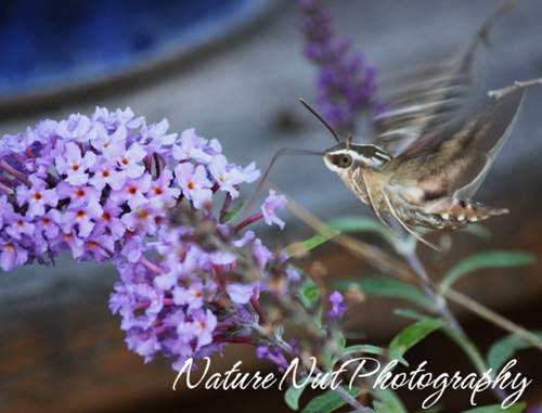 Hummingbird Moth5a