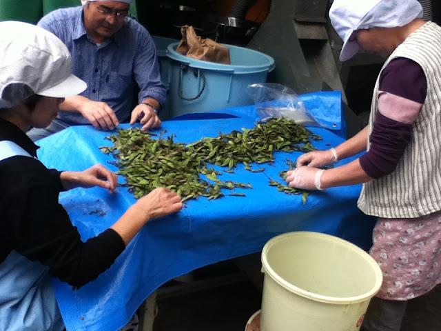 さといらず枝豆の選別作業