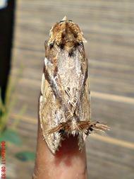 dudusa vethi snellen_lepidoptera_moth_ngengat 07