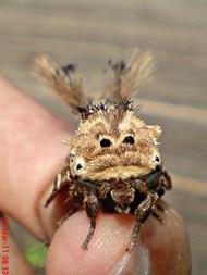 dudusa vethi snellen_lepidoptera_moth_ngengat 10