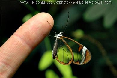 greta oto kupu-kupu bersayap transparan