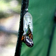 kupu-kupu keluar dari kepompong 3