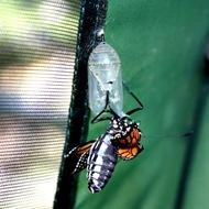 kupu-kupu keluar dari kepompong 4