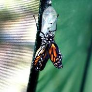 kupu-kupu keluar dari kepompong 6