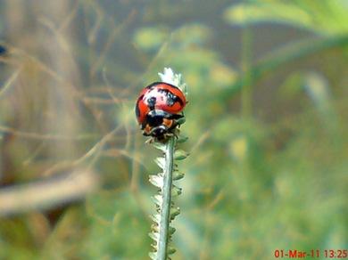 transverse ladybird 03