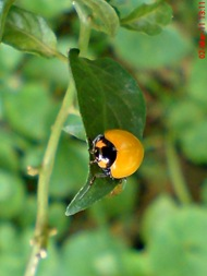transverse ladybug emerged from the pupa 02b