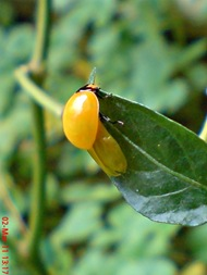 transverse ladybug emerged from the pupa 05