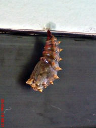 caterpillar turn into chrysalis 12
