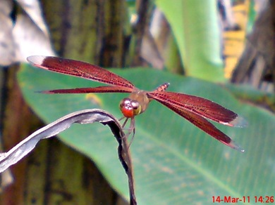 Neurothemis terminata_Straight-edged Red Parasol 02