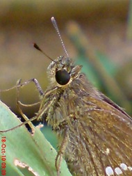 Grass-skipper Borbo cinnara 8