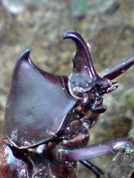 Xylotrupes gideon_Kumbang Badak_Rhinoceros Beetle 08