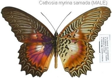 Cethosia myrina sarnada Fruhstorfer, 1912 (male)
