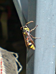 Delta campaniforme_Yellow and black potter wasp 02