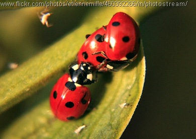 ladybird threesome