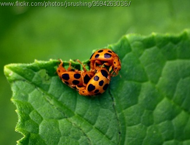 lady bug threesome mating