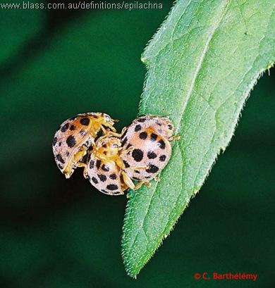 Epilachna sparsa-threesome