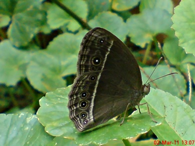 Bushbrown butterfly_Mycalesis horsfieldi 3