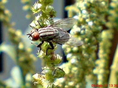 Sarcophaga carnaria_Flesh Fly_Lalat 07