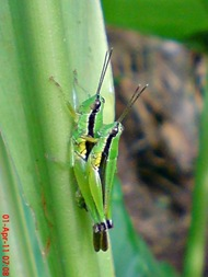 grasshopper_belalang_Oxya chinensis 2