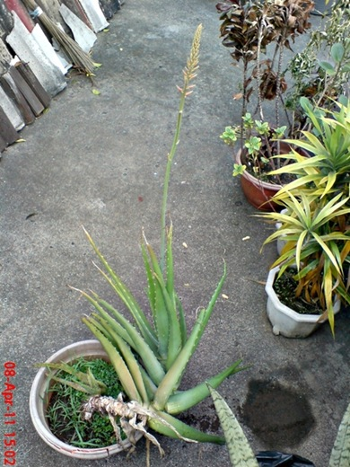medicinal plant_Aloe vera_lidah buaya 5