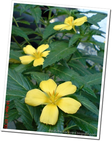 Turnera ulmifolia_ramgoat dashalong 1