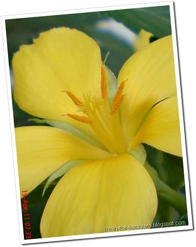 Turnera ulmifolia_ramgoat dashalong 3