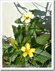 bunga pukul delapan putih kuning
