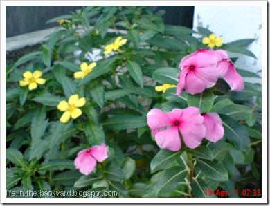Turnera ulmifolia_ramgoat dashalong 4