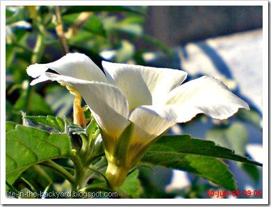 white alder Turnera subulata bunga pukul delapan 09