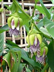 Passiflora quadrangularis_Markisa Besar_Erbis_Giant Granadila 30