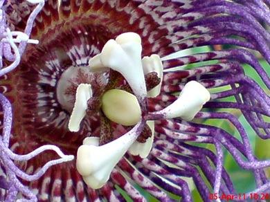 Passiflora quadrangularis_Markisa Besar_Erbis_Giant Granadila 04
