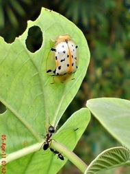 Aspidomorpha miliaris_tortoise beetles 10
