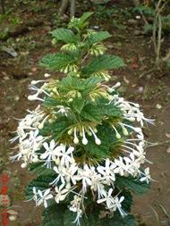 Clerodendrum calamitosum_Kembang Bugang_White Butterfly 08