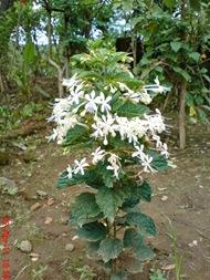 Clerodendrum calamitosum_Kembang Bugang_White Butterfly 01
