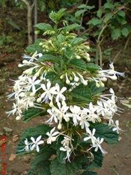 Clerodendrum calamitosum_Kembang Bugang_White Butterfly 07