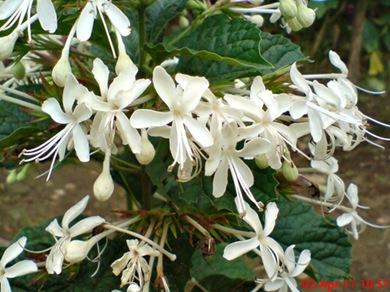 Clerodendrum calamitosum_Kembang Bugang_White Butterfly 04