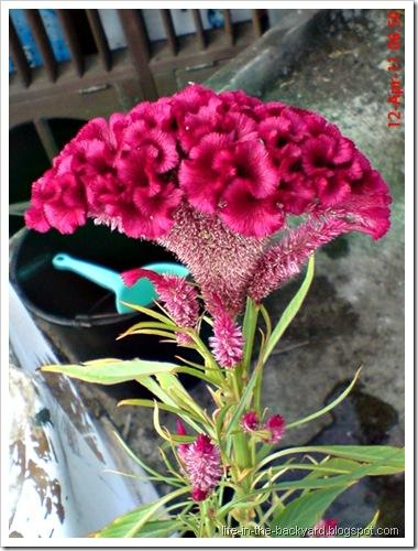 bunga jengger ayam_Celosia cristata 04