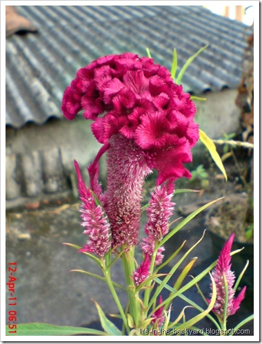 bunga jengger ayam_Celosia cristata 09