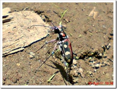 Cicindela aurulenta_Spotted Tiger Beetle_Kumbang 1