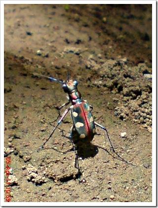 Cicindela aurulenta_Spotted Tiger Beetle_Kumbang 2