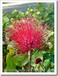 Calliandra tergemina_Kaliandra_Powderpuff Plant 01