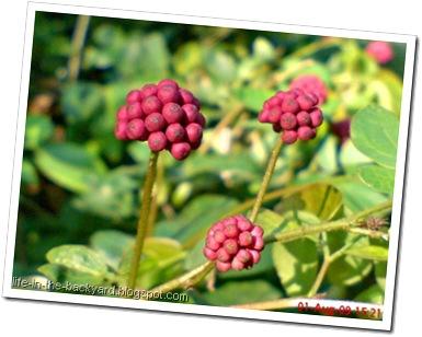 Calliandra tergemina_Kaliandra_Powderpuff Plant 10