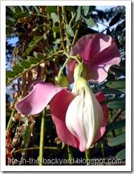 Sesbania grandiflora_turi merah 19