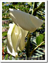 Sesbania grandiflora_turi putih 03