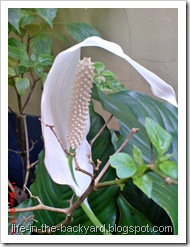 Spathiphyllum wallisii_Peace Lily 15