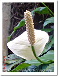 Spathiphyllum wallisii_Peace Lily 06