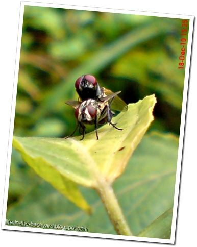 Fly Mating_Musca domestica_Lalat Rumah_House Fly 9