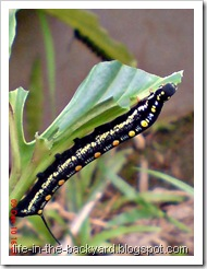 Sphingidae moth caterpillar 2