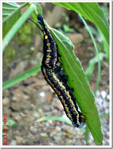 caterpillar molting 2